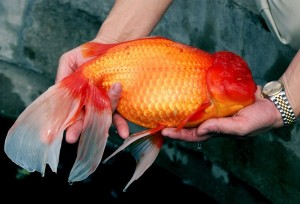 Giant Goldfish. Click to read how this is actually a myth.